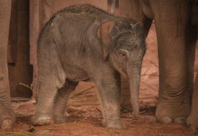 Elephant calf birth