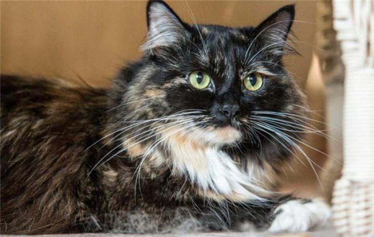 Cat with the longest fur