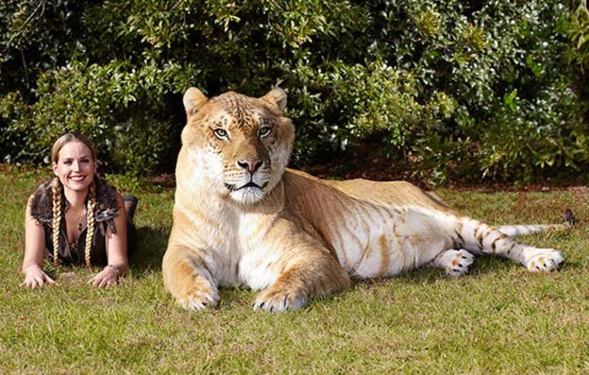 hercules is a cross between a tigress and a lion guinness world records
