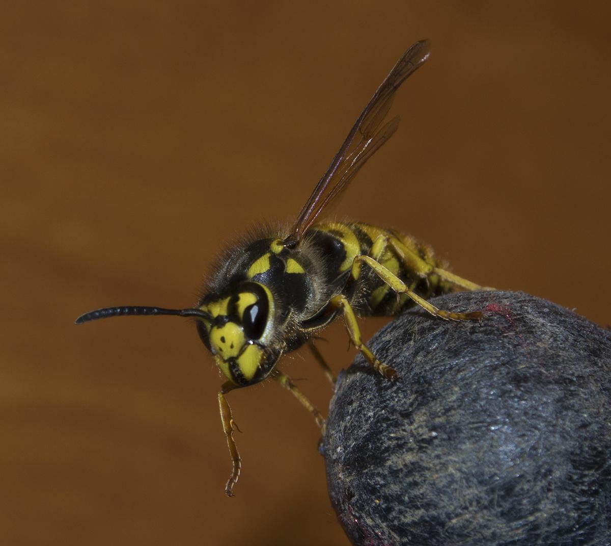 German Wasp Vespula Germanica