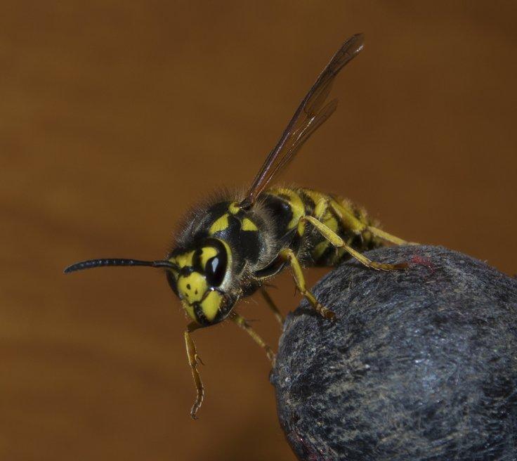German Wasp Vespula Germanica