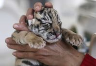 Tiger cubs born in China