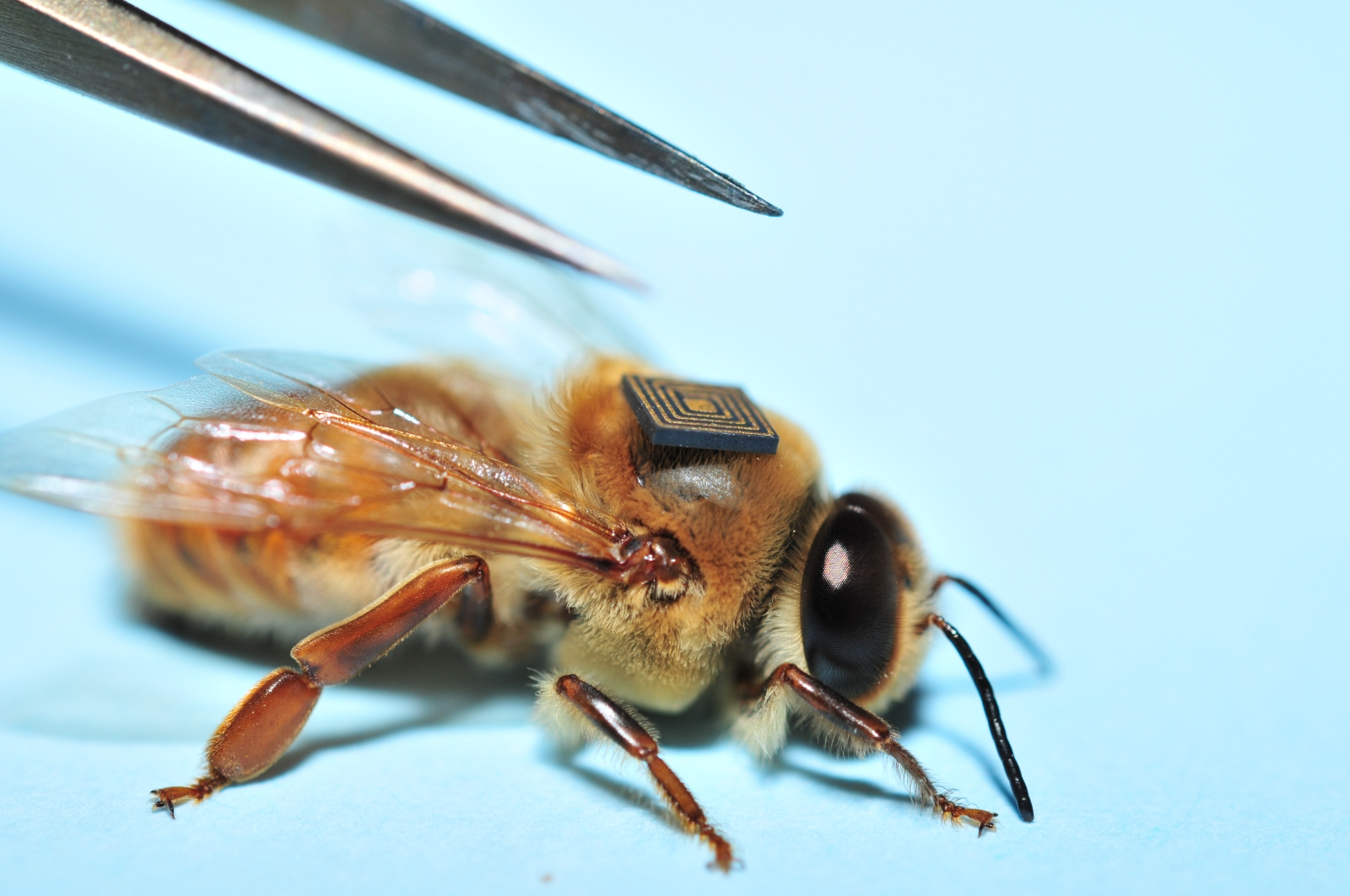 Honey bee with tracker