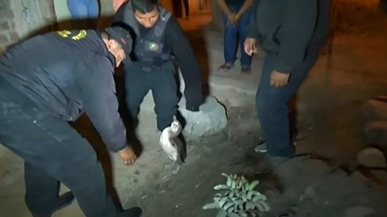 Police in Peru catch penguin