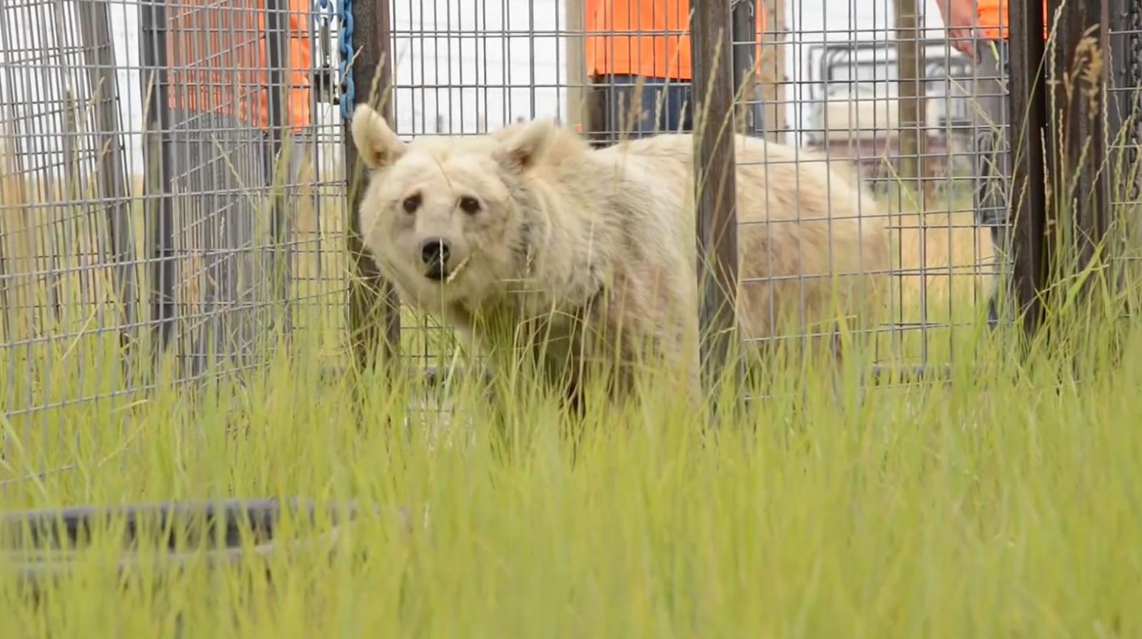 Elderly bears finally freed by PETA