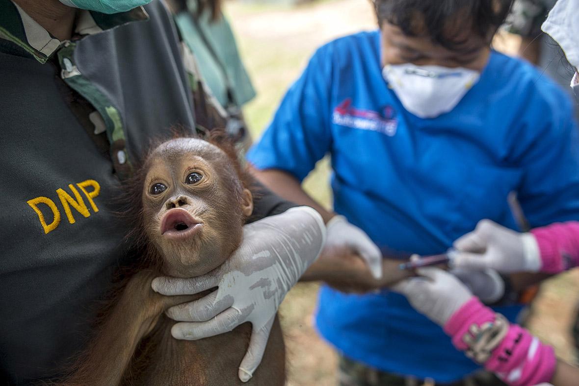 thailand orangutans