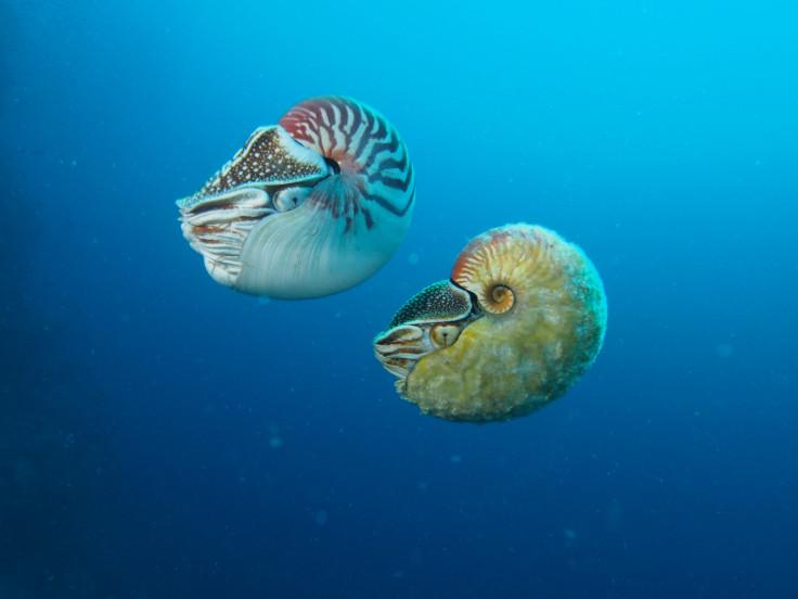 Allonautilus scrobiculatus