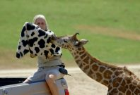 Bottle-fed baby giraffe