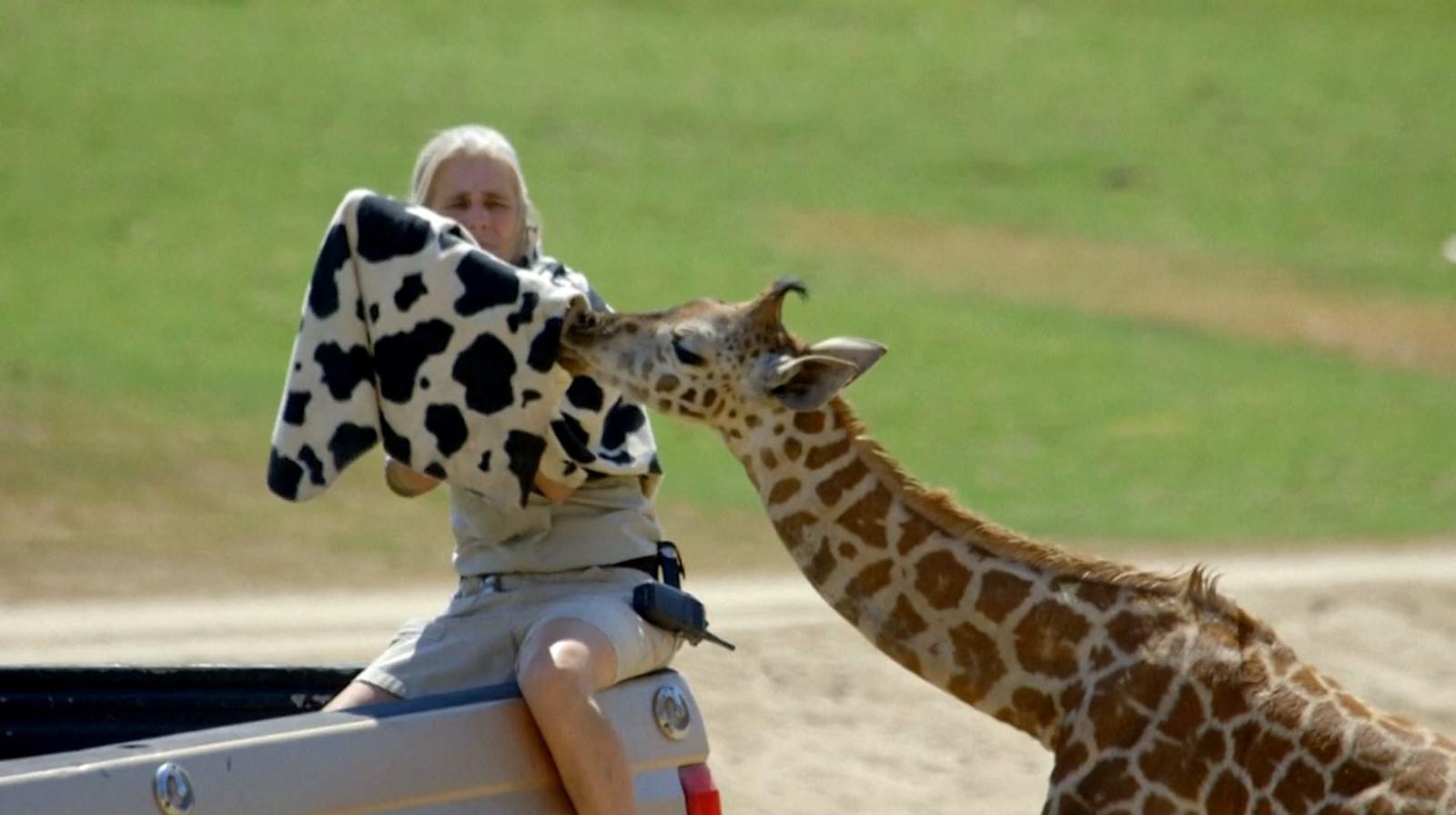 Bottle-fed baby giraffe