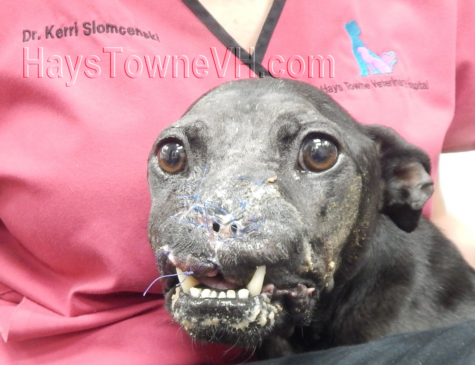 abused pitbull khalessi gets new nose after her upper jaw