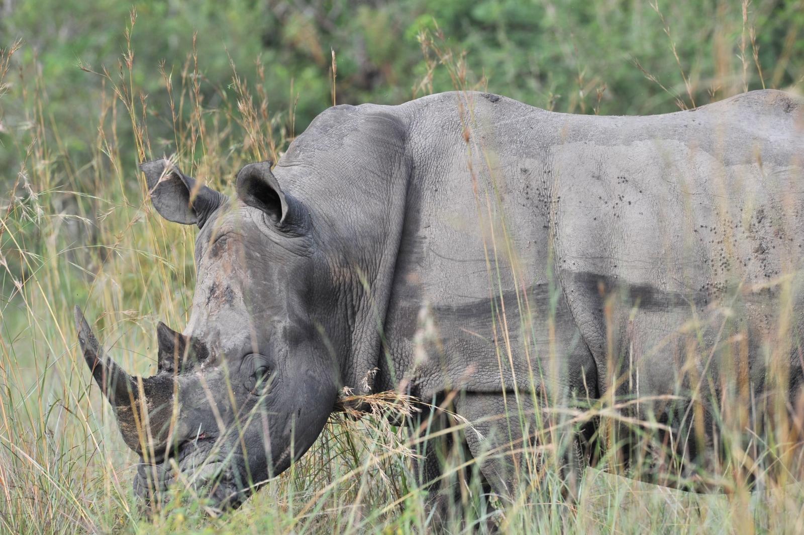 Rhinoceros resting in Kruger