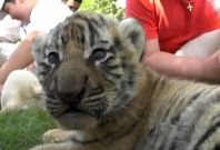 Tiger and lion cubs in Crimea zoo