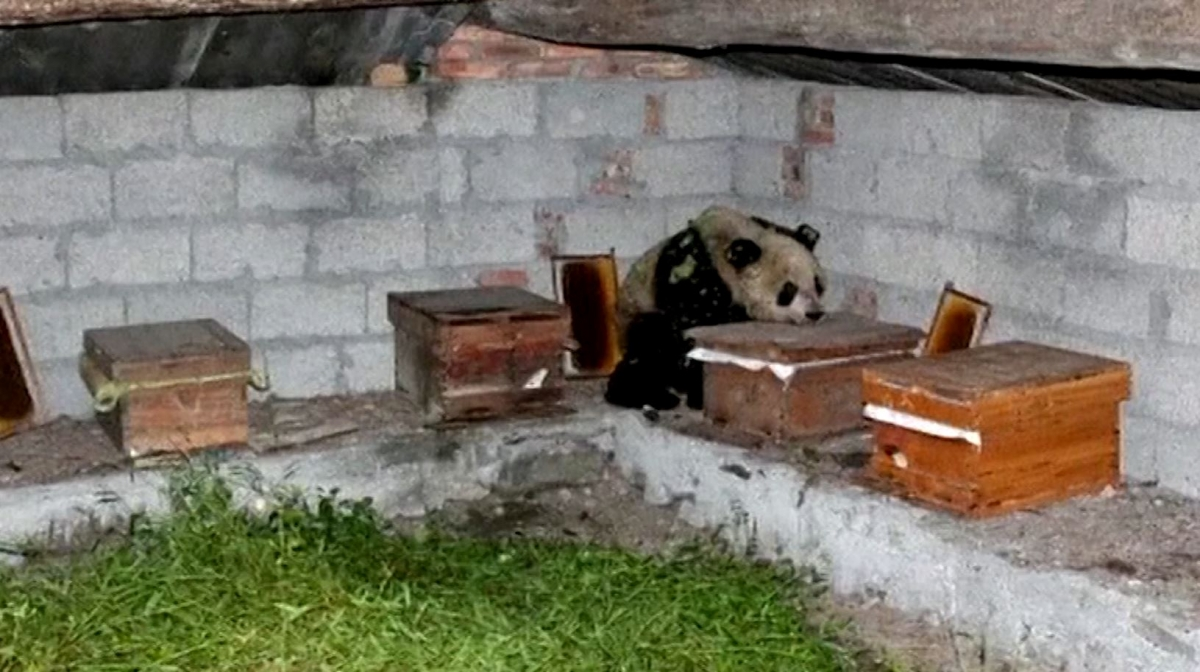 Panda raids bee farm in China