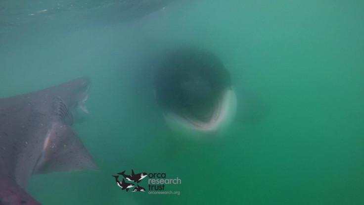 orca vs shark