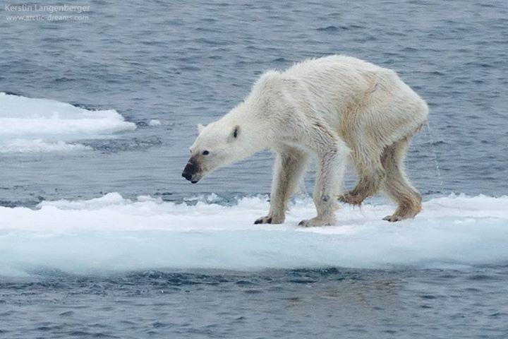 starving polar bear Svalbard