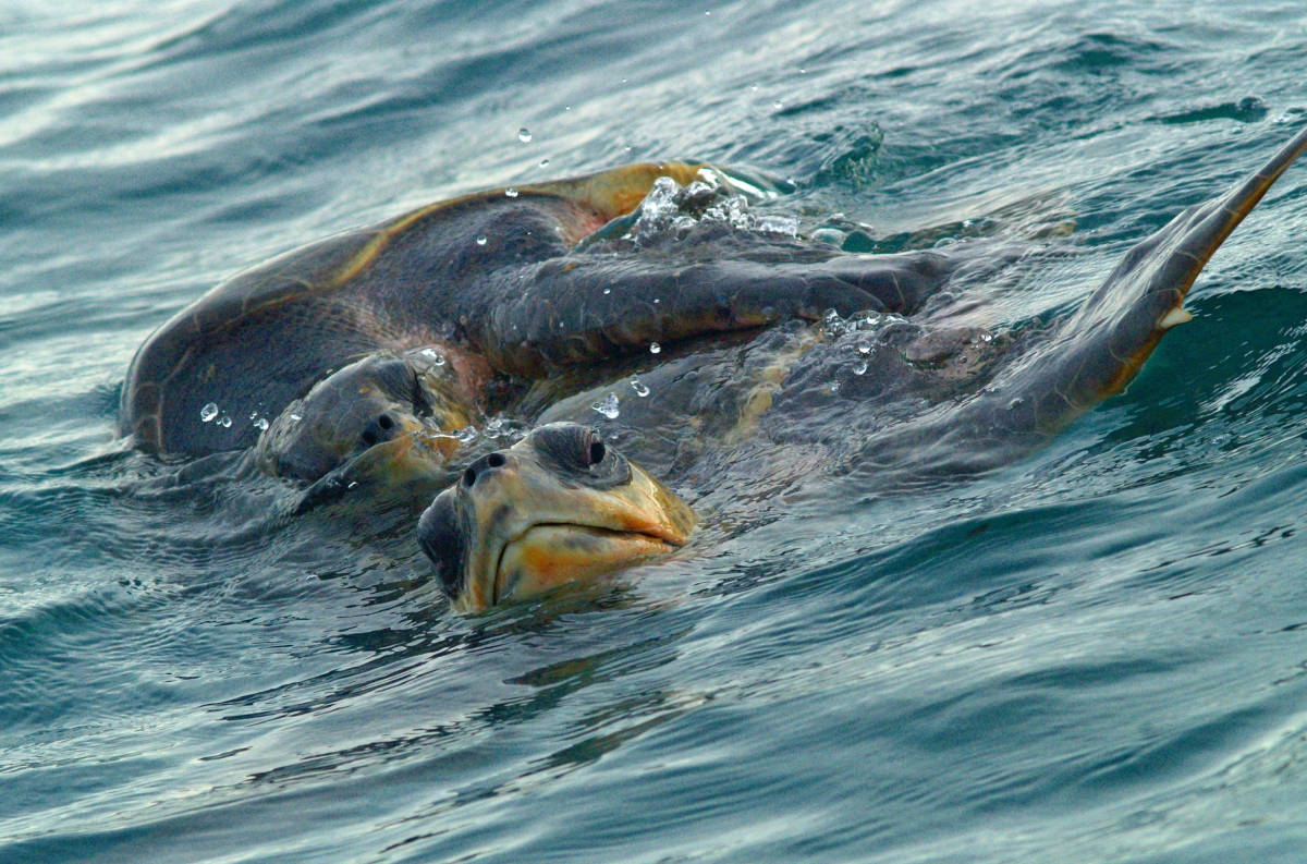 Olive ridley sea turtle.