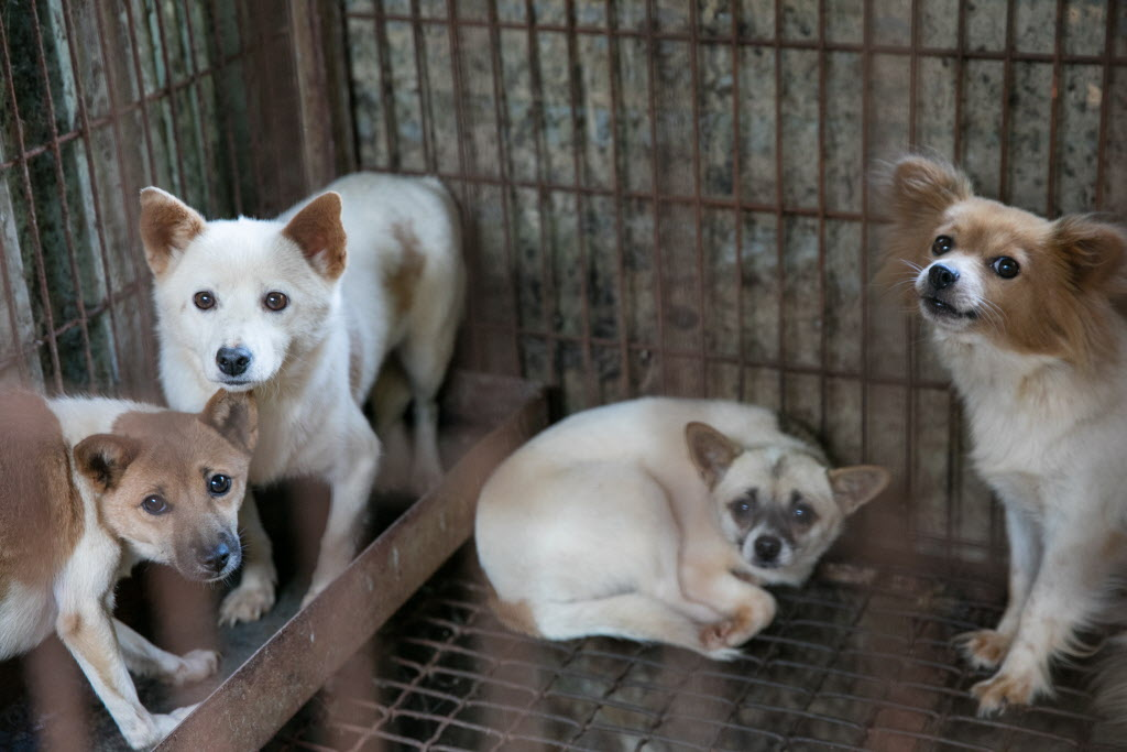 Korean dog meat farm rescue