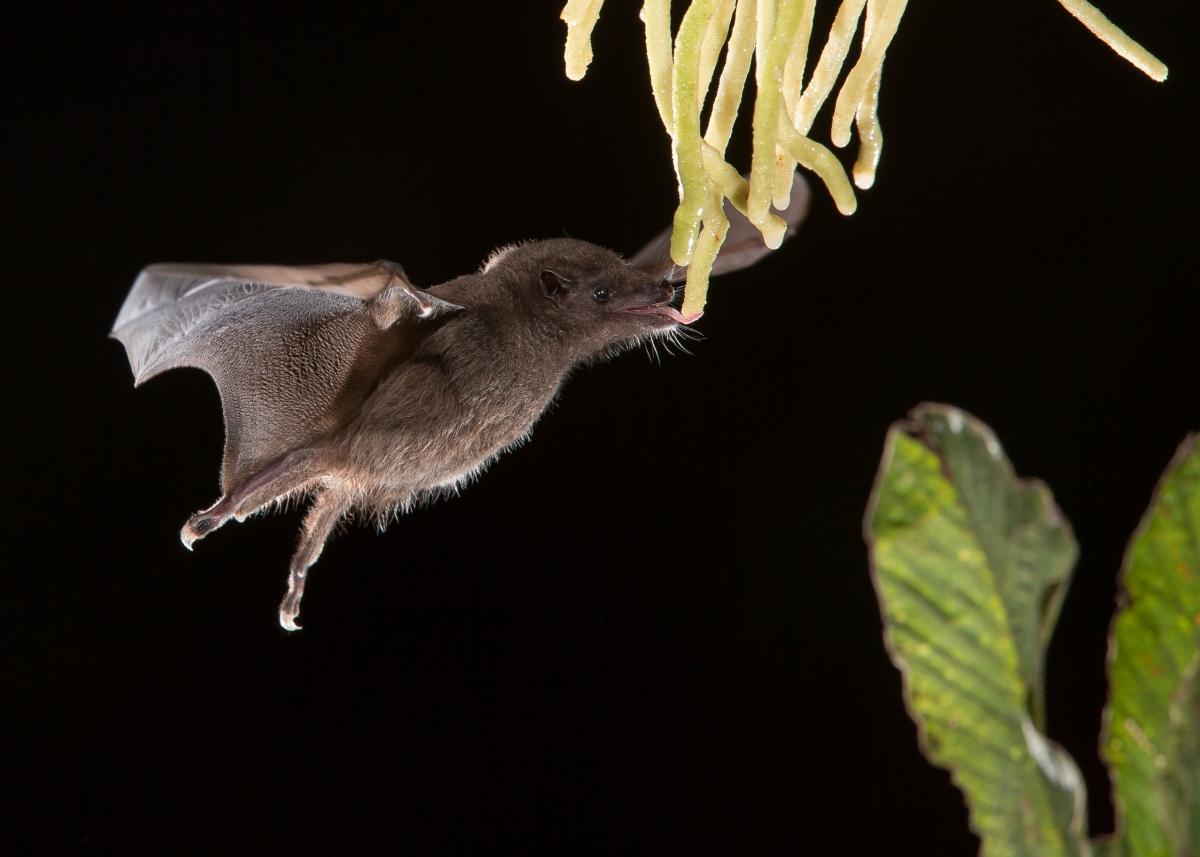 Anoura Geoffroy's tailless bat