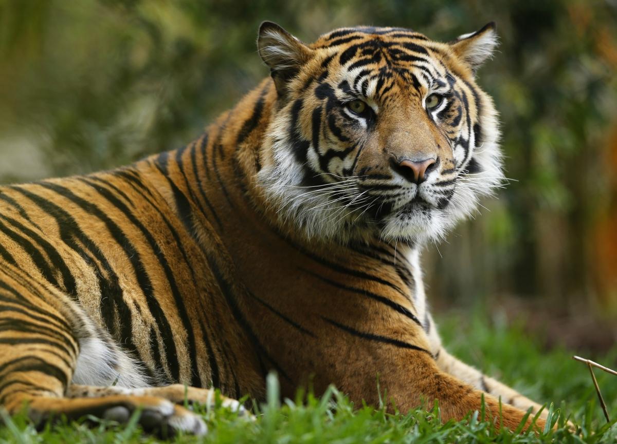 tiger - photo #14