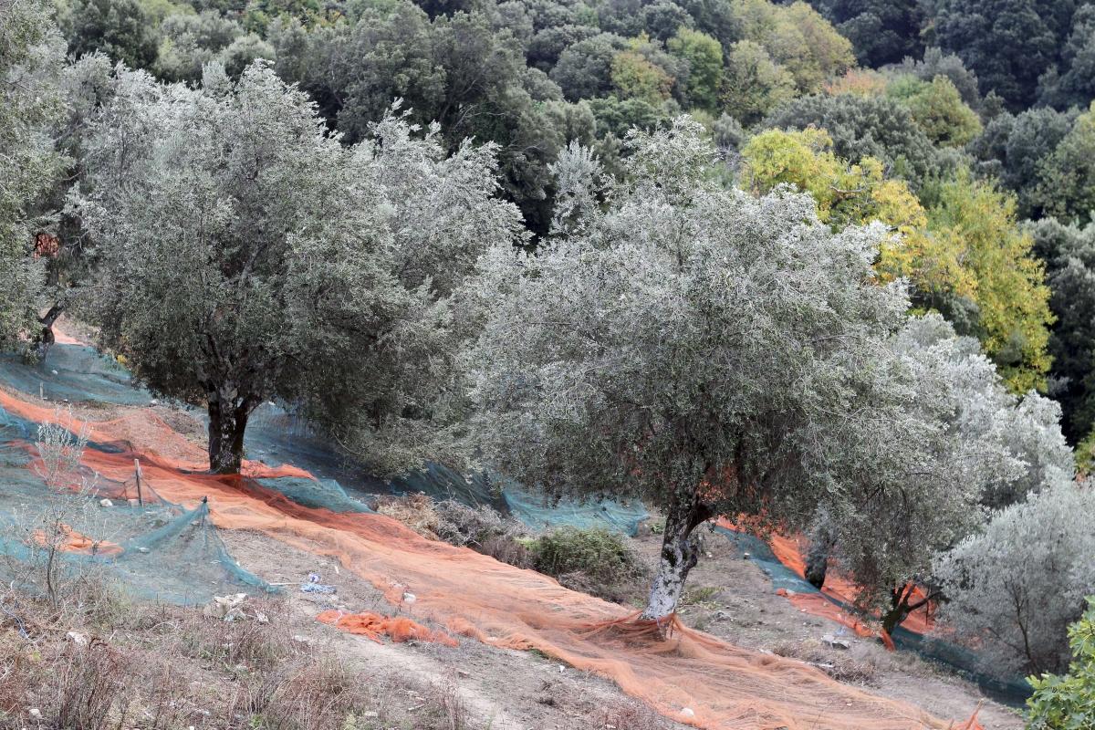 olive oil xylella fastidiosa