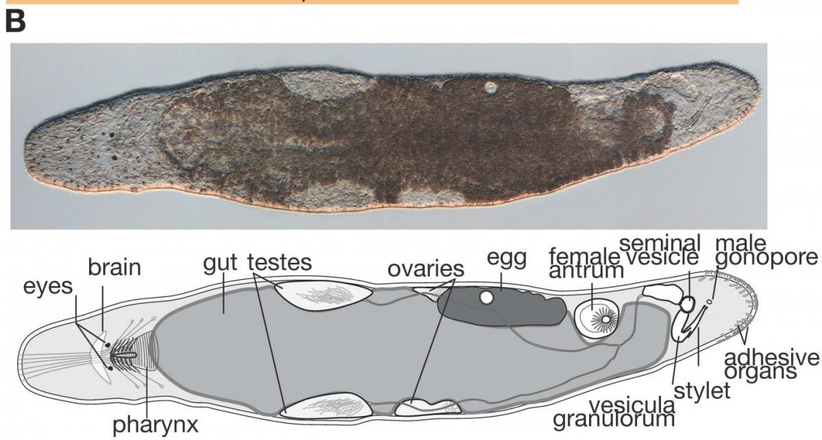 M. lignano flatworm stem cell