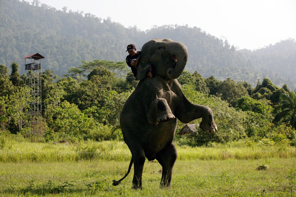 Yongki elephant killed Sumatra Indonesia