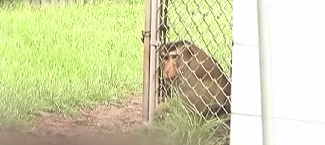 Escaped monkey