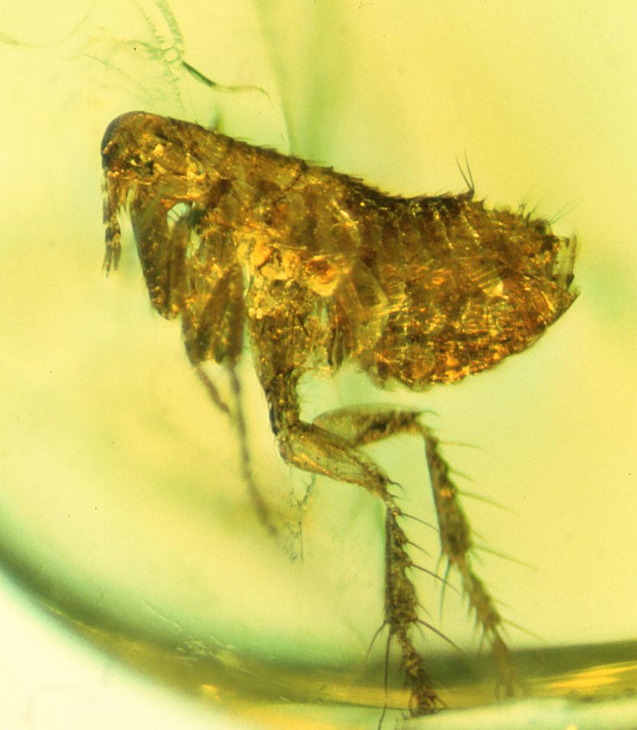 flea bubonic plague