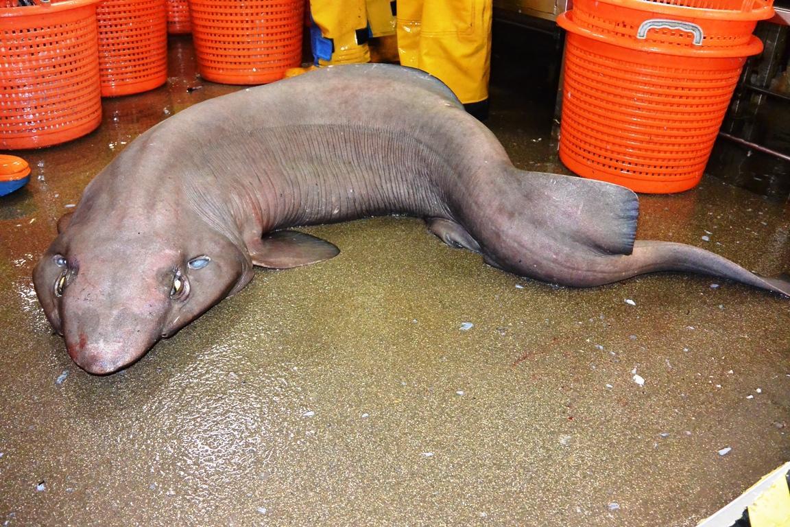 false catfish sofa shark