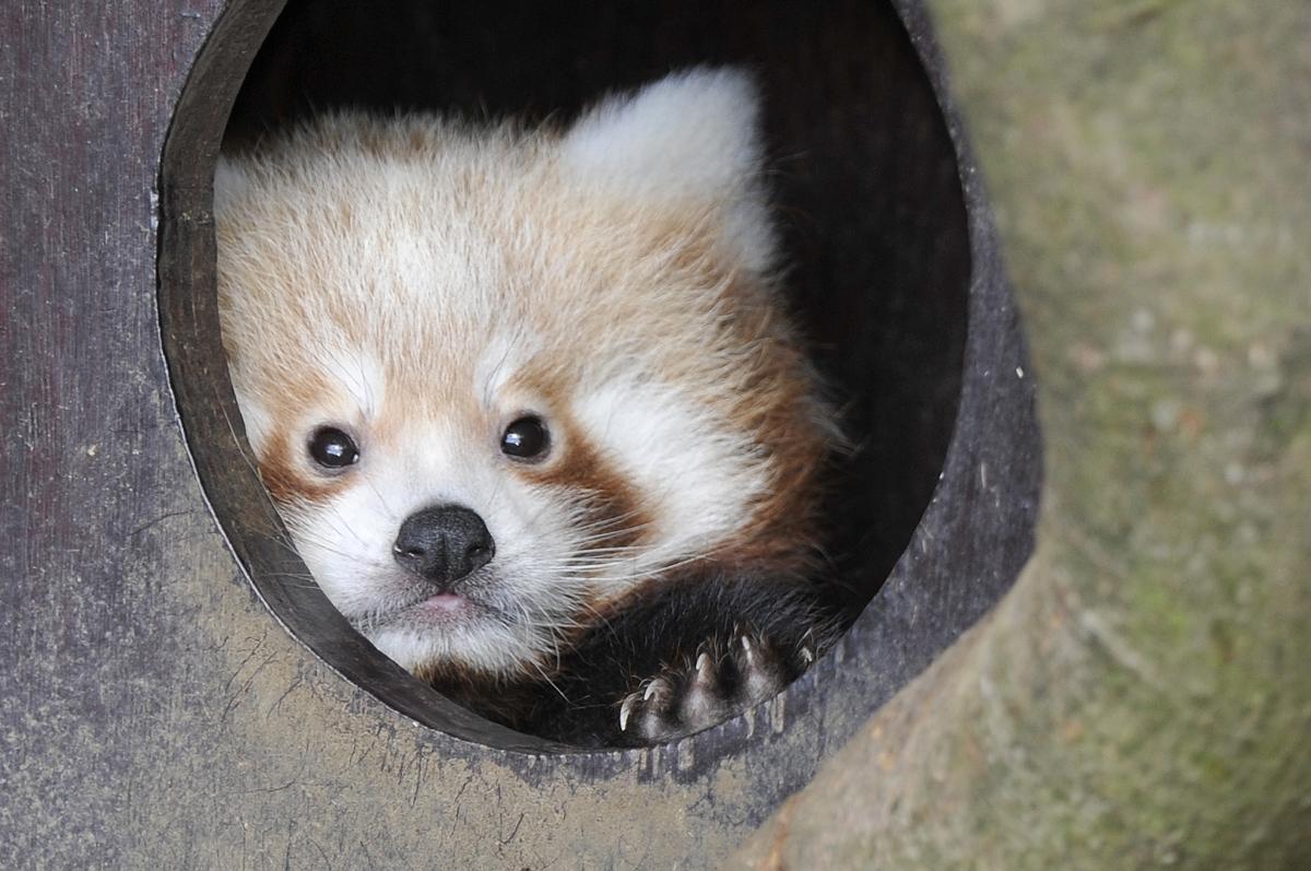 baby red panda cubs