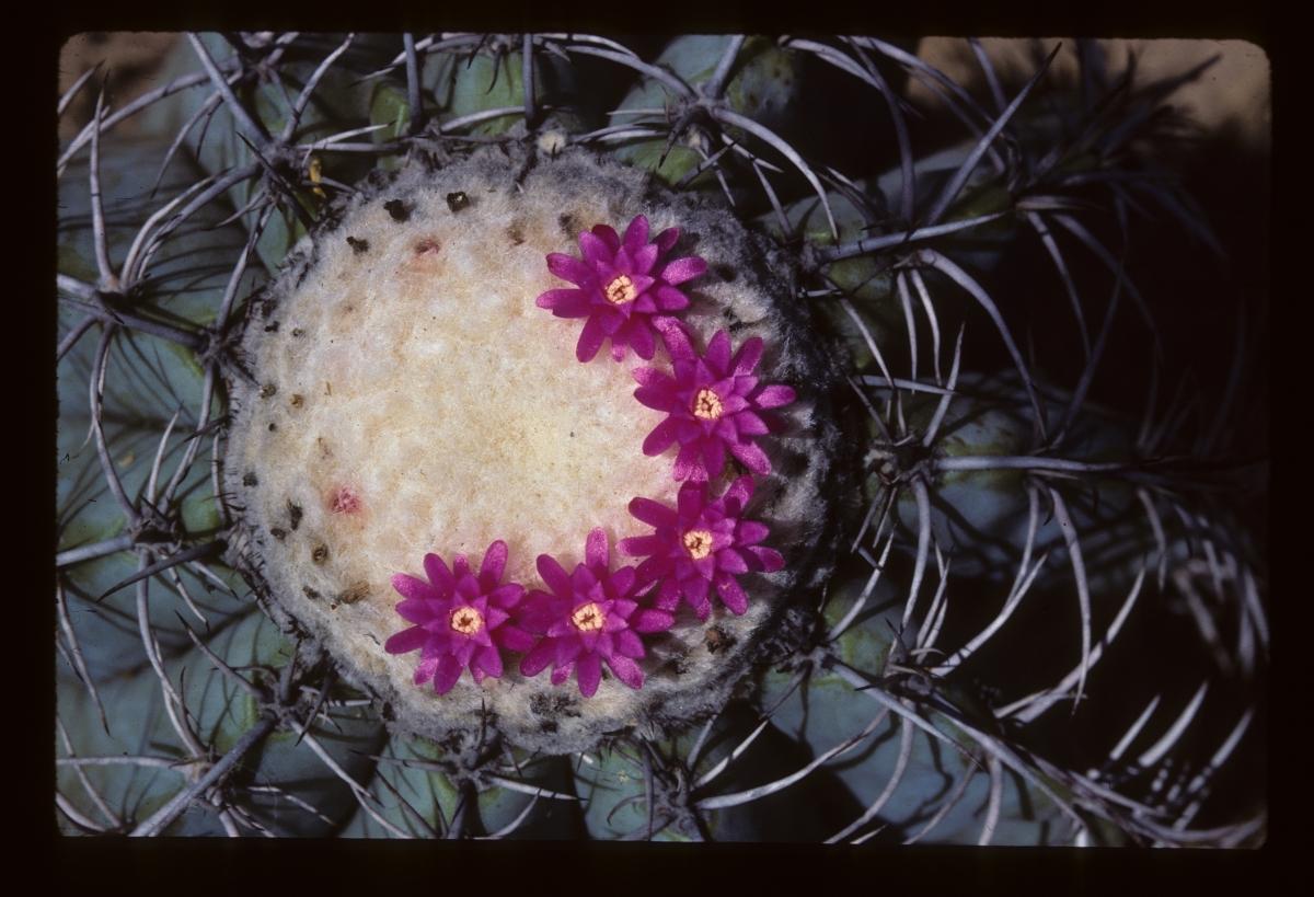 Melocactus glaucescens
