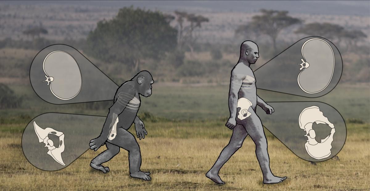 chimps humans walking upright