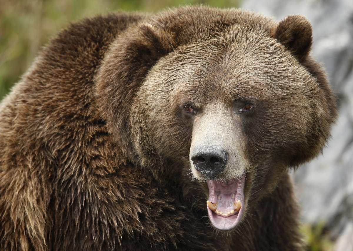 montana hunter survives bear attack by plunging his arm