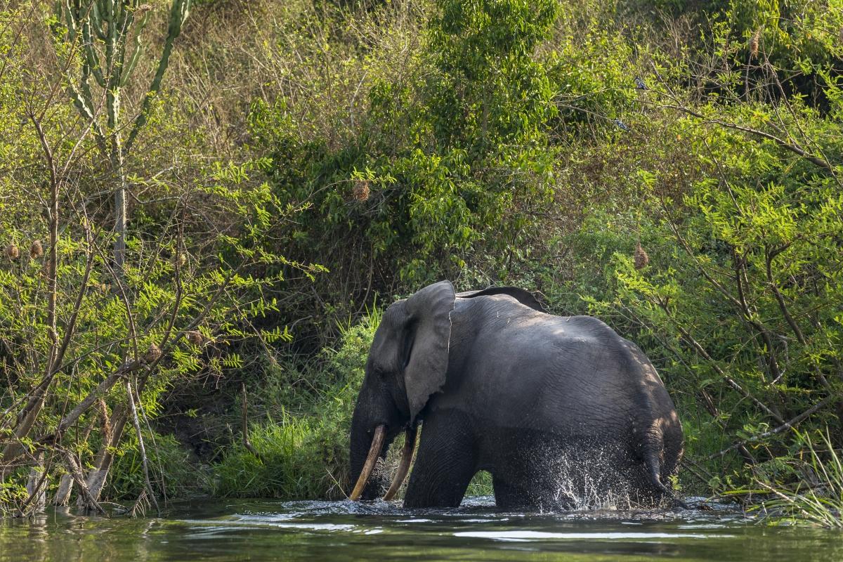 DRC elephant