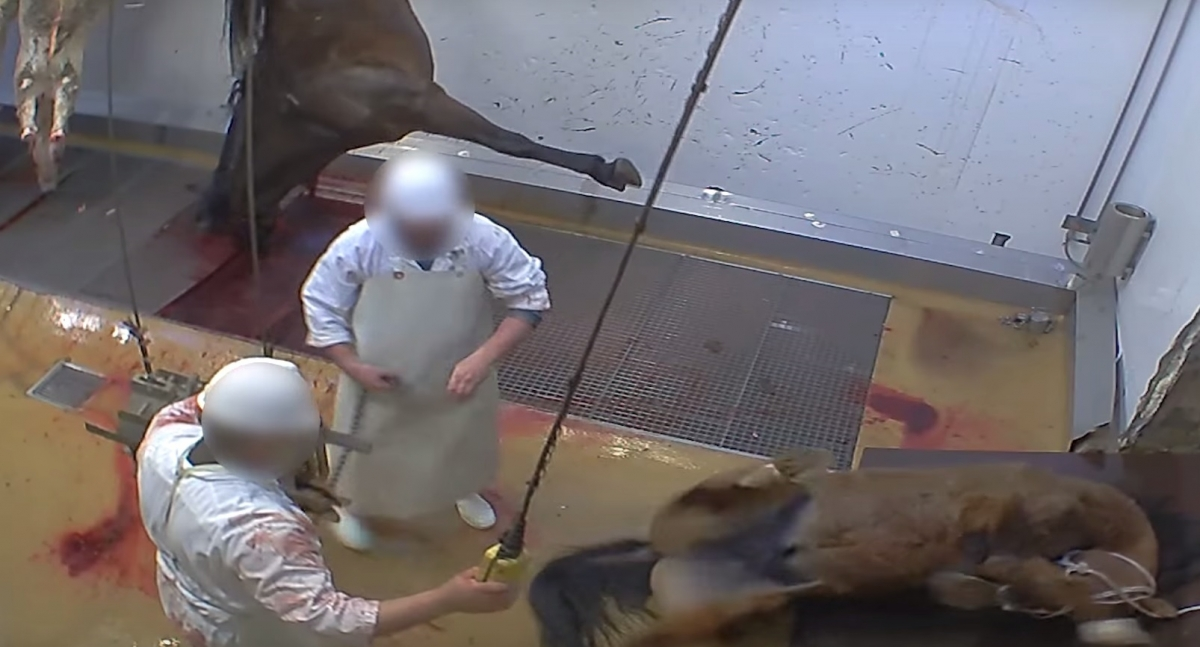 Alès Abattoir video France animal cruelty