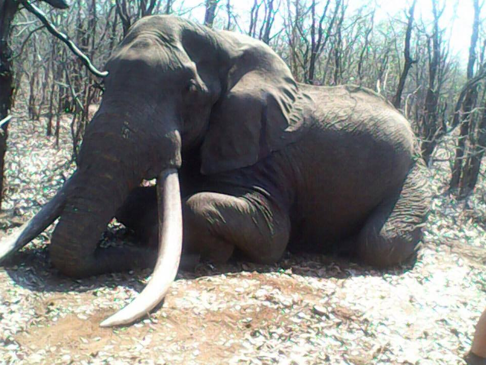 Zimbabwe: Hunter kills one of the biggest elephants ever ...