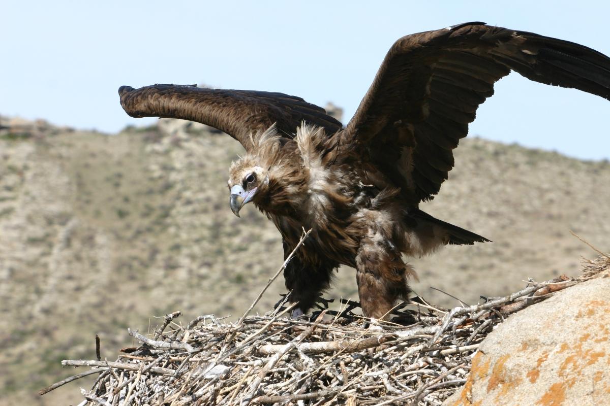 vulture genome