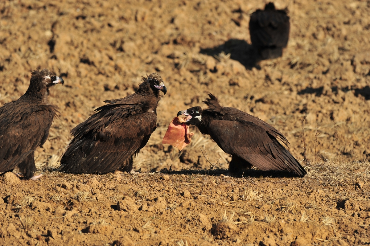 vultures eating rotting meat