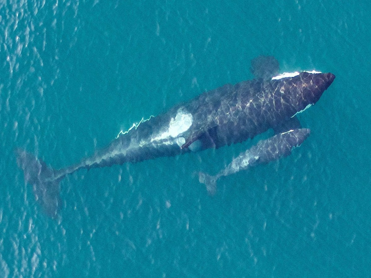 killer whale calves