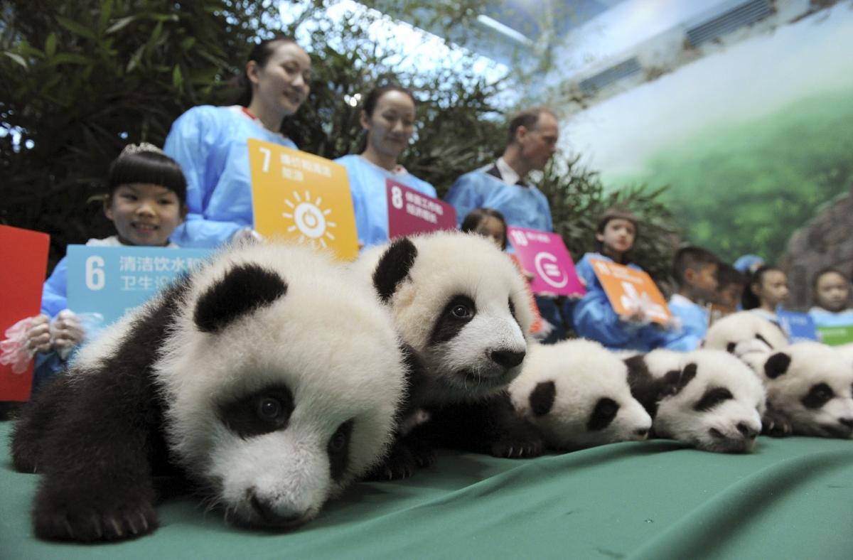 Baby Giant Pandas On Display
