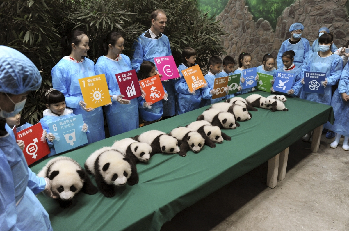 Giant Pandas on display in China