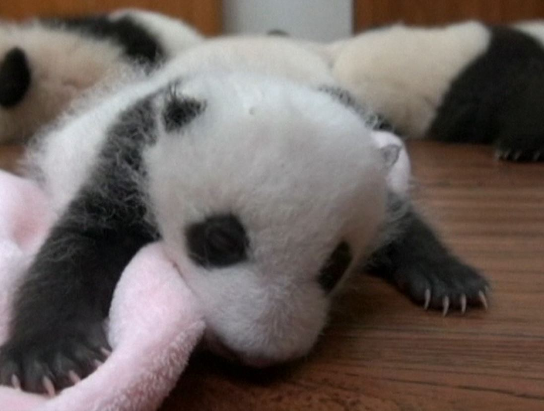 China: Twin panda cubs revealed to the world