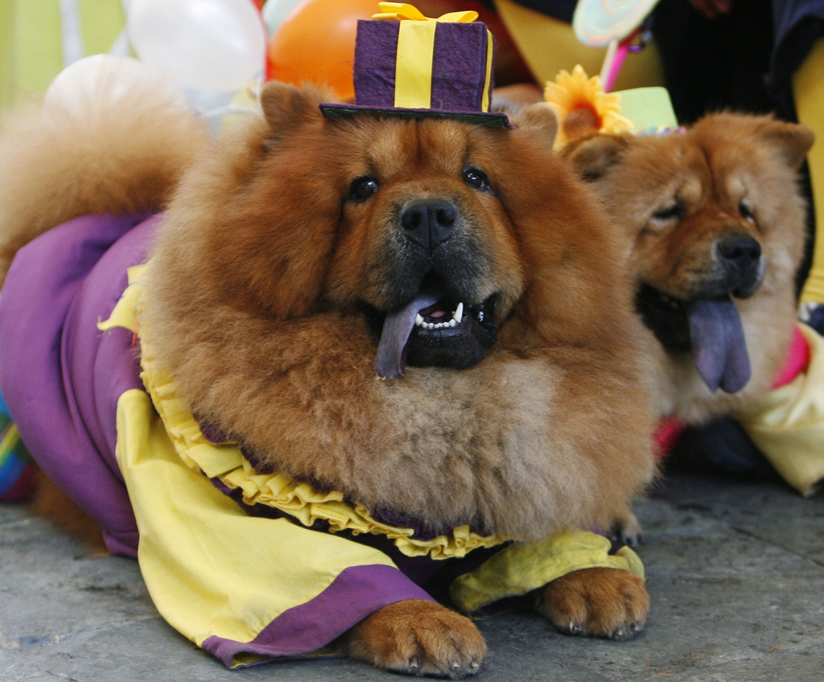 Good Stays Puppy Chubby Adorable Dog - two-chow-chows-dressed-clown-costumes  Perfect Image Reference_191762  .jpg?w\u003d736\u0026e\u003d33eade2b0c33c04722e8da8aacb5e473