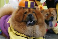 Two Chow Chows dressed in clown costumes