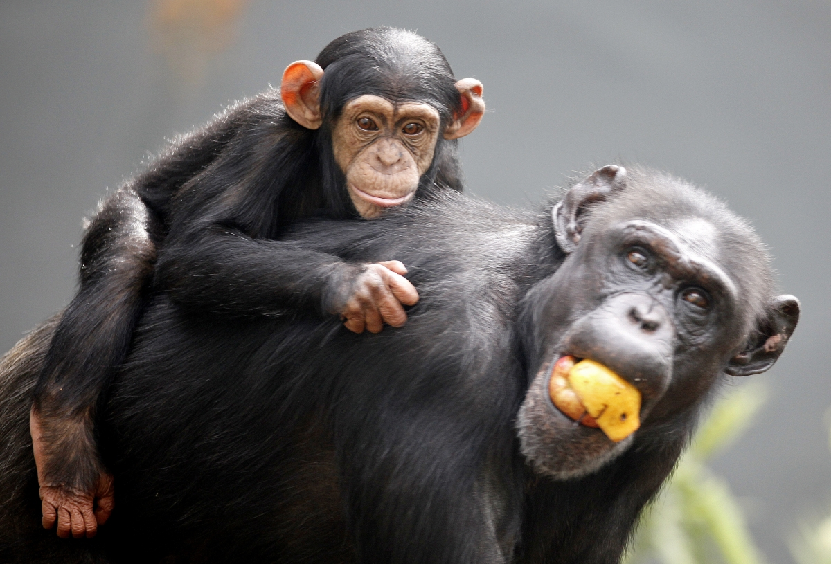 Chimpanzee moreover Insufferable Know It Alls Mutation Of The Week moreover 2487 besides How To Make Friends With Chimps According To Jane Goodall additionally Animals Emotions And Feelings. on jane goodall with chimpanzees