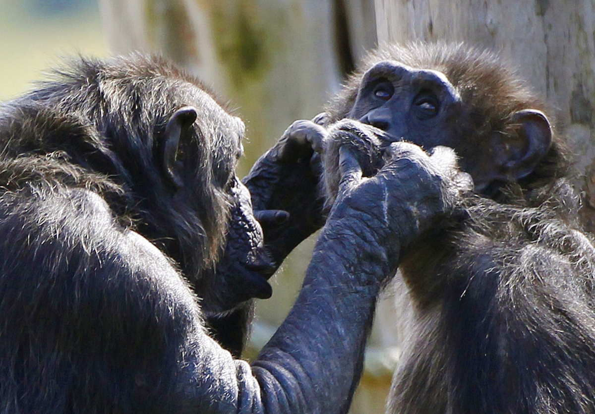 chimps at edinburgh zoo