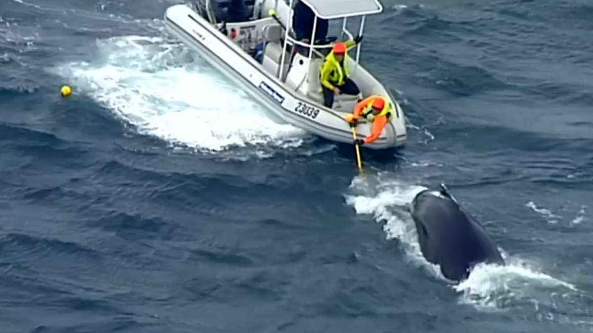 Australia: Humpback whales saved by lifeguards