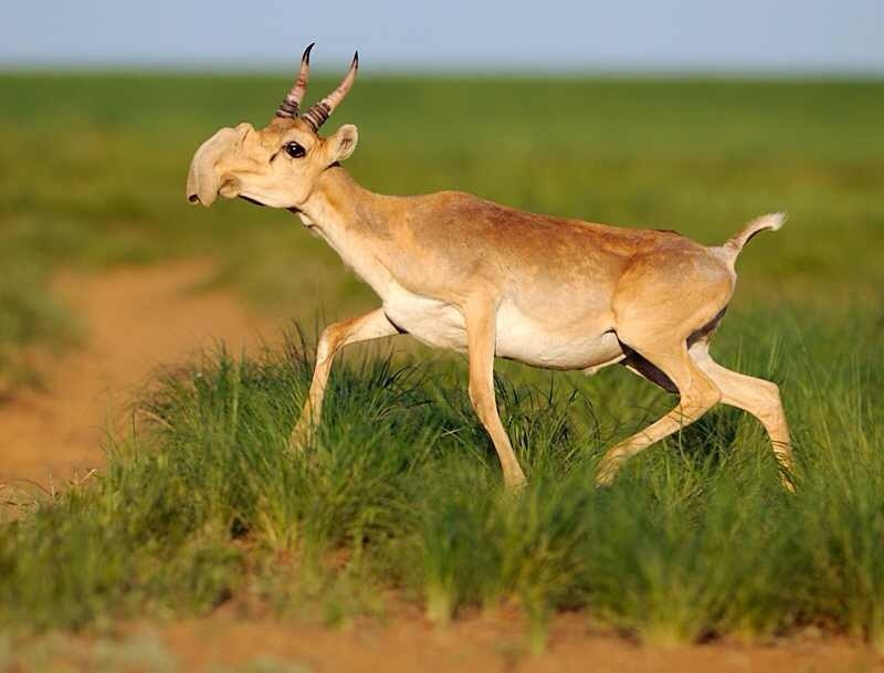 Did global warming kill 200,000 critically endangered saiga antelope in just three weeks?