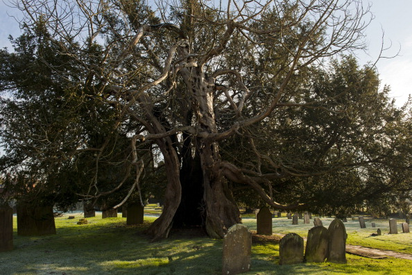 European Yew Tree