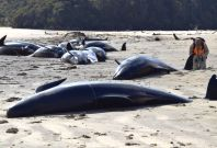 stranded pilot whales
